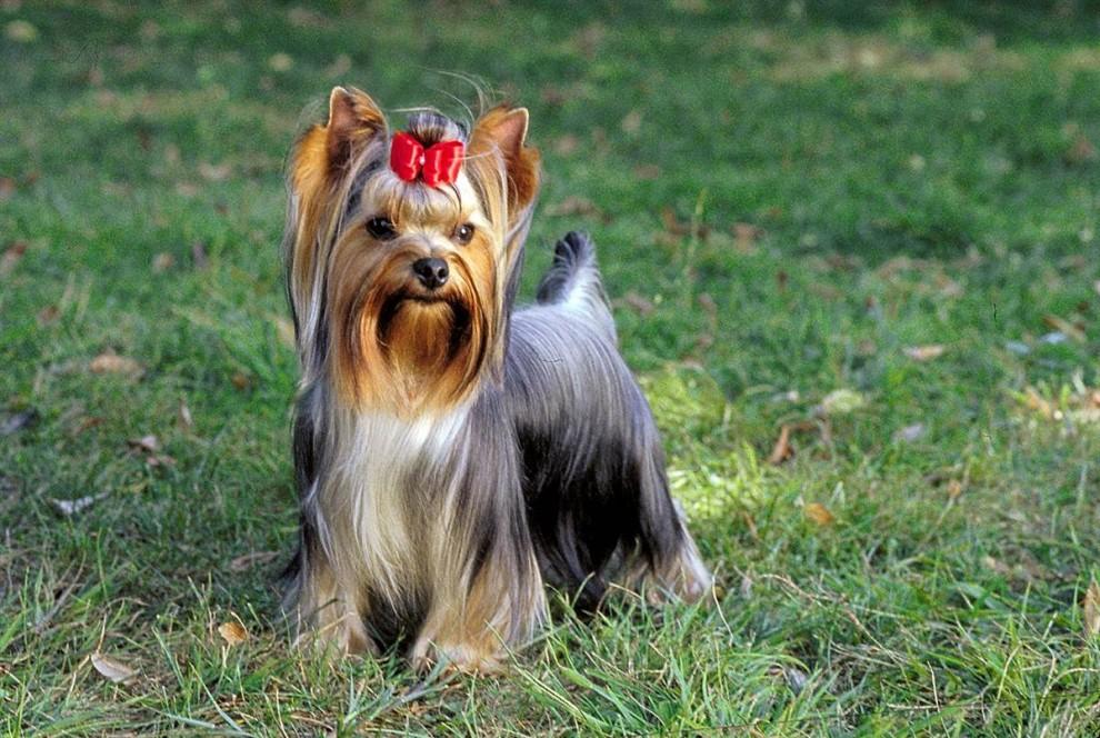 порода собак йоркширский терьер фото как лучший